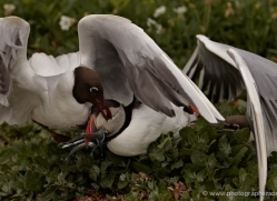black-headed-gulls-attacking-puffins-619-copyright-photographers-on-safari-com