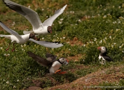 black-headed-gulls-attacking-puffins-623-copyright-photographers-on-safari-com