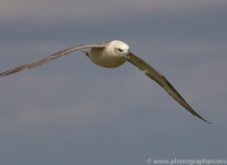 fulmar-copyright-photographers-on-safari-com-8410