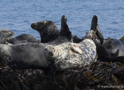grey-seal-595-copyright-photographers-on-safari-com