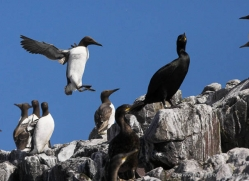 guillemot-590-copyright-photographers-on-safari-com