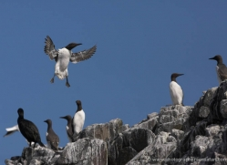 guillemot-591-copyright-photographers-on-safari-com