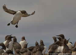 guillemot-copyright-photographers-on-safari-com-8414