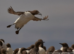guillemot-copyright-photographers-on-safari-com-8415