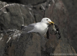 herring-gull-copyright-photographers-on-safari-com