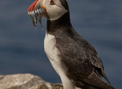 puffin-copyright-photographers-on-safari-com-8417