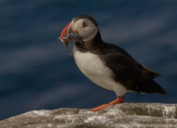puffin-copyright-photographers-on-safari-com-8418