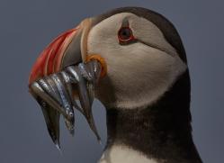puffin-copyright-photographers-on-safari-com-8419