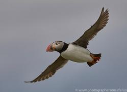 puffin-copyright-photographers-on-safari-com-8422