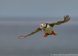 puffin-copyright-photographers-on-safari-com-8423