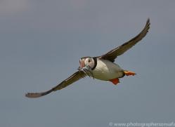 puffin-copyright-photographers-on-safari-com-8424