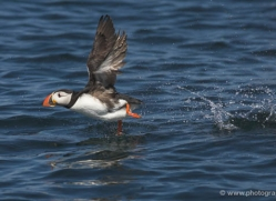 puffins-on-islands-630-copyright-photographers-on-safari-com
