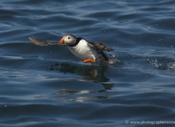 puffins-on-islands-631-copyright-photographers-on-safari-com
