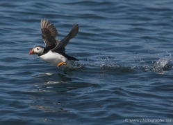 puffins-on-islands-632-copyright-photographers-on-safari-com