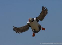 puffins-on-islands-633-copyright-photographers-on-safari-com