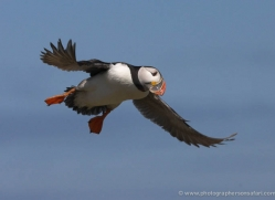 puffins-on-islands-634-copyright-photographers-on-safari-com
