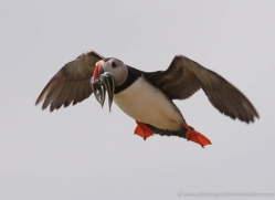 puffins-on-islands-639-copyright-photographers-on-safari-com