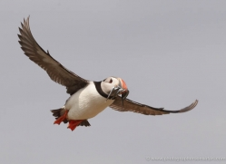 puffins-on-islands-642-copyright-photographers-on-safari-com