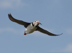 puffins-on-islands-648-copyright-photographers-on-safari-com