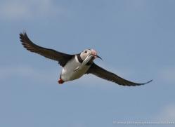 puffins-on-islands-648-copyright-photographers-on-safari-com