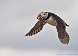 puffins-on-islands-655-copyright-photographers-on-safari-com