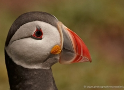puffins-on-islands-660-copyright-photographers-on-safari-com