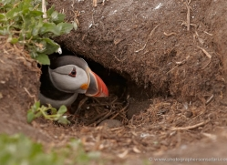 puffins-on-islands-664-copyright-photographers-on-safari-com