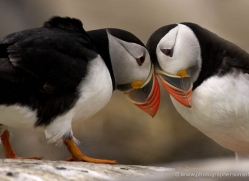 puffins-on-islands-665-copyright-photographers-on-safari-com