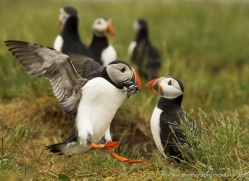 puffins-on-islands-667-copyright-photographers-on-safari-com