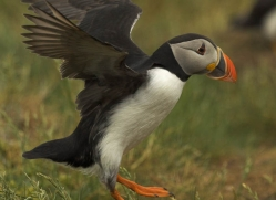 puffins-on-islands-668-copyright-photographers-on-safari-com