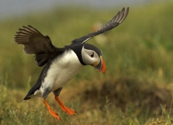 puffins-on-islands-670-copyright-photographers-on-safari-com
