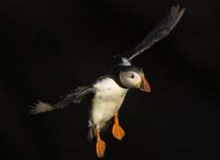 puffins-on-islands-682-copyright-photographers-on-safari-com