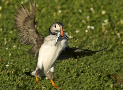 puffins-on-islands-683-copyright-photographers-on-safari-com