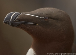 razorbill-copyright-photographers-on-safari-com-8427