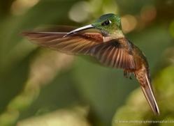 hummingbird-ecuador-1915-copyright-photographers-on-safari-com