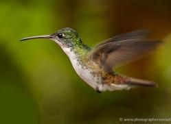 hummingbird-ecuador-1917-copyright-photographers-on-safari-com
