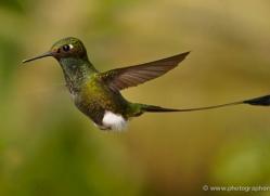 hummingbird-ecuador-1921-copyright-photographers-on-safari-com