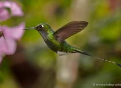 hummingbird-ecuador-1923-copyright-photographers-on-safari-com