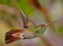 hummingbird-ecuador-1927-copyright-photographers-on-safari-com