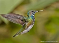 hummingbird-ecuador-1928-copyright-photographers-on-safari-com