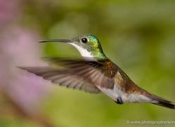 hummingbird-ecuador-1929-copyright-photographers-on-safari-com
