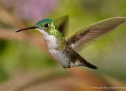 hummingbird-ecuador-1933-copyright-photographers-on-safari-com
