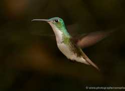 hummingbird-ecuador-1934-copyright-photographers-on-safari-com