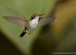 hummingbird-ecuador-1938-copyright-photographers-on-safari-com