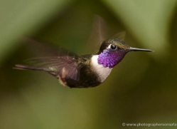 hummingbird-ecuador-1939-copyright-photographers-on-safari-com