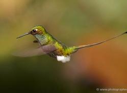 hummingbird-ecuador-1940-copyright-photographers-on-safari-com