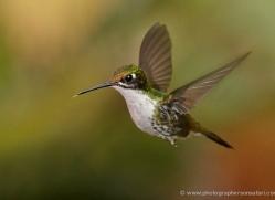 hummingbird-ecuador-1942-copyright-photographers-on-safari-com