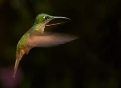 Hummingbird 2015-19copyright-photographers-on-safari-com