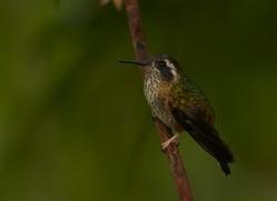 Hummingbird 2015-1copyright-photographers-on-safari-com