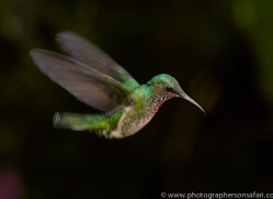 Hummingbird 2015-22copyright-photographers-on-safari-com